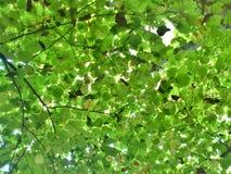 Листья зеленого цвета в лете Стоковое Изображение