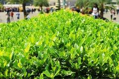 Листья зеленого цвета в парке Стоковое Изображение