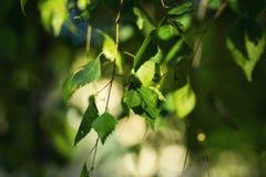 Листья зеленого цвета дерева березы весной Свежие листья зеленого цвета на березе Стоковая Фотография