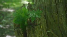 Листья зеленого цвета дерева клена влажного после дождя Конец-вверх видеоматериал