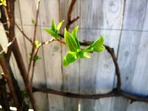 Листья зеленого цвета жасмина Стоковое фото RF