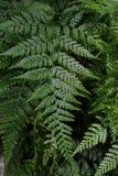 Листья зеленого цвета завода папоротника Стоковые Фото