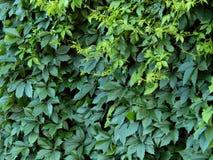 Листья зеленого цвета завода хмеля на загородке Стоковое фото RF