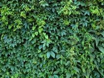 Листья зеленого цвета завода хмеля на загородке Стоковая Фотография