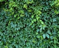Листья зеленого цвета завода хмеля на загородке Стоковое Фото