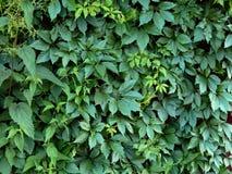 Листья зеленого цвета завода хмеля на загородке Стоковые Изображения RF
