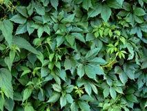 Листья зеленого цвета завода хмеля на загородке Стоковые Изображения