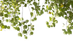 Листья зеленого цвета изолированного дерева Bauhinia с солнечным светом Стоковая Фотография RF