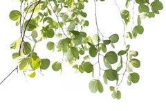 Листья зеленого цвета изолированного дерева Bauhinia с солнечным светом Стоковое Фото