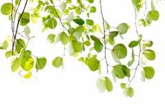 Листья зеленого цвета изолированного дерева Bauhinia с солнечным светом Стоковое Изображение