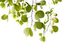 Листья зеленого цвета изолированного дерева Bauhinia с солнечным светом Стоковое фото RF