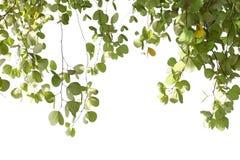 Листья зеленого цвета изолированного дерева Bauhinia с солнечным светом Стоковые Фото