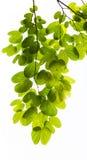Листья зеленого цвета изолированные на белой предпосылке Стоковое Изображение