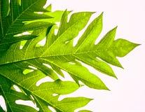 Листья зеленого цвета, лист папапайи Стоковая Фотография RF