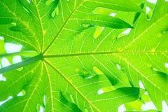 Листья зеленого цвета, лист папапайи Стоковые Изображения