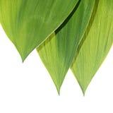 Листья зеленого цвета лилии долина Стоковая Фотография