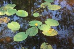 Листья зеленого цвета лилий воды Стоковые Изображения RF
