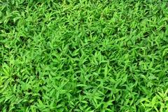 Листья зеленого цвета или предпосылка зеленого растения Стоковое фото RF