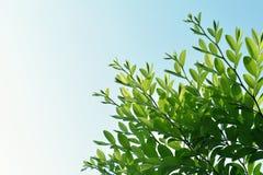 Листья зеленого цвета и космос предпосылки неба для космоса экземпляра Стоковое Изображение RF