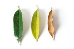 Листья зеленого цвета и сушат листья на белой предпосылке Стоковые Фото