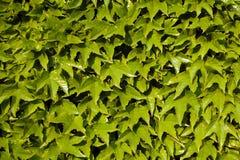 Листья зеленого цвета как предпосылка Стоковое Изображение RF