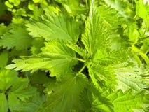 Листья зеленого цвета крапивы Стоковые Изображения RF