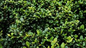 Листья зеленого цвета куста стоковая фотография rf