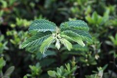 Листья зеленого цвета на зеленой предпосылке куста Стоковые Фото