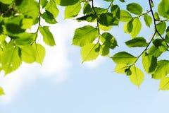Листья зеленого цвета на предпосылке голубого неба Стоковые Изображения RF