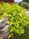 Листья зеленого цвета на стене утеса Стоковое фото RF