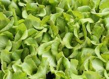 Листья зеленого цвета нежного свежего салата для продажи без использования бича Стоковое Изображение
