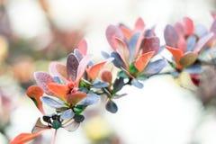Листья зеленого цвета, оранжевых и бургундского барбариса ягоды Стоковые Изображения