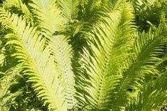 Листья зеленого цвета папоротника Стоковое Изображение