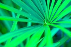Листья зеленого цвета, пальма Стоковое фото RF
