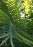 Листья зеленого цвета пальмы Стоковая Фотография