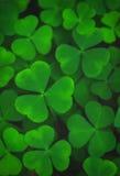 Листья зеленого цвета предпосылки shamrock Стоковые Изображения RF