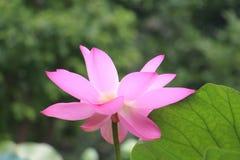Листья зеленого цвета приносят вне блеск розовых цветков лотоса Стоковое Фото