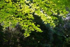 Листья зеленого цвета против яркого backlight Стоковая Фотография RF
