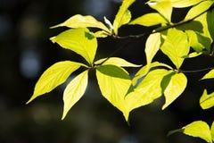 Листья зеленого цвета против яркого backlight Стоковая Фотография
