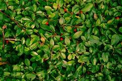 Листья зеленого цвета с красными ягодами Стоковое Изображение
