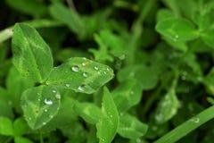 Листья зеленого цвета с дождевыми каплями Стоковое Фото