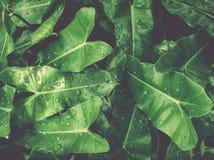 Листья зеленого цвета с орошают под солнечным светом стоковая фотография