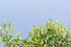 Листья зеленого цвета с предпосылкой голубого неба стоковые фотографии rf