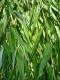 Листья зеленого цвета текстуры вербы Стоковые Фото