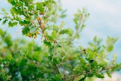 Листья зеленого цвета дуба и жолудей на дереве дуба Стоковая Фотография