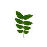 Листья зеленого цвета фруктового дерев дерева звезды Стоковое Изображение