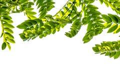 Листья зеленого цвета для предпосылки Стоковая Фотография