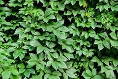 Листья зеленого цвета для предпосылки Стоковая Фотография RF