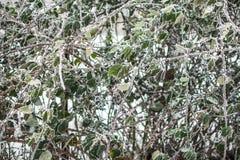 Листья зимы замерли предпосылкой, который в саде Живая изгородь покрытая с изморозью стоковая фотография rf