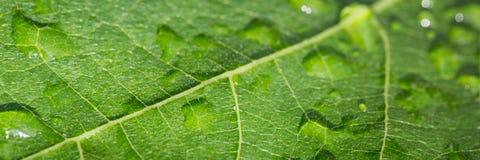 листья знамени зеленые стоковые изображения